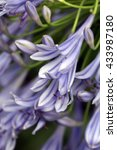 Small photo of African Lily's light purple flowers closeup(Agapanthus africanus)