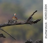 Small photo of African pygmy goose sitting on dead tree branch, Botswana