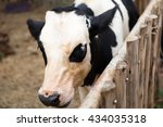 the cows inside the farm   Shutterstock . vector #434035318