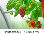 Potted Garden Red Strawberry...