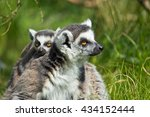 portrait of a cute lemur in a... | Shutterstock . vector #434152444