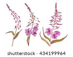chamaenerion. fireweed.... | Shutterstock .eps vector #434199964