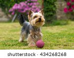 Cute Small Yorkshire Terrier I...