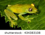 Small photo of The Demerara Falls tree frog, Hypsiboas cinerascens, is a species of frog in the Hylidae family found in Bolivia, Brazil, Colombia, Ecuador, French Guiana, Guyana, Peru, Suriname, and Venezuela.
