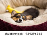 Corgi Puppy Laying Down On Its...