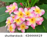plumeria flower pink and white... | Shutterstock . vector #434444419