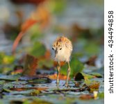 Small photo of African jacana chick walking on lily pads on river, South Africa