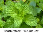 thai peppermint  kitchen mint ... | Shutterstock . vector #434505229