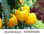 Yellow Bell Pepper  Sweet...
