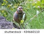 Small photo of Barbara partridge (Alectoris barbara), perdix. Bird in the nature habitat