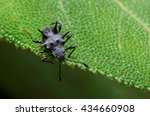 Small photo of Spiny Fungus Beetle, Endomychidae Cacodaemon