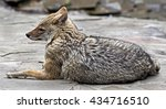 golden jackal. latin name  ... | Shutterstock . vector #434716510