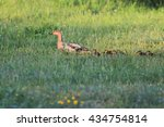 Small photo of Mallard, Anas platyrhynchos in aberrative plumage with chicks on the grass