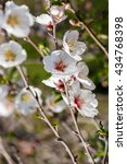 Small photo of Bright flowers on almond tree
