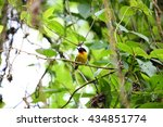 Small photo of Strange weaver (Ploceus alienus) in Nyungwe National Park, Rwanda
