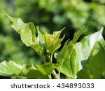 close up young leaves bunch of... | Shutterstock . vector #434893033