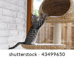 Stock photo  weeks old kitten playing on cat tree 43499650