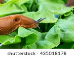 snail with lettuce leaf | Shutterstock . vector #435018178