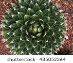 Agave  Maguey  Mexico