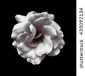 color photo of a rose on black... | Shutterstock . vector #435092134