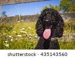Adorable Black Standard Poodle...