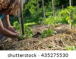 covering young capsicum plants... | Shutterstock . vector #435275530