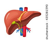 human liver anatomy. medical... | Shutterstock .eps vector #435281590