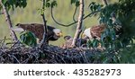 Two Adult Bald Eagles Feed...