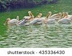 group of pelican swimming | Shutterstock . vector #435336430