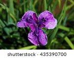 acorus calamus | Shutterstock . vector #435390700