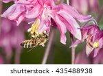 Honey Bee  Apis Mellifera  On...