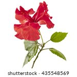 Red Hibiscus Flower On A White...