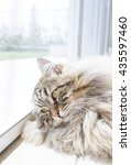 Stock photo beautiful male cat of siberian breed 435597460