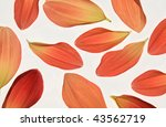 Small photo of Red and Alizarin Crimson Coloured Dahlia Petals on White Background.