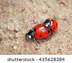 Beautiful Ladybugs Being Mate...