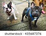 Stock photo french bulldog take a walk lovely pet animal concept 435687376