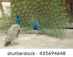 Male Peacock With Hen And Open...