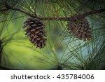 Close Up View Of Cedar Pine...