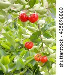Small photo of Acerola cherry on tree