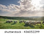 Flock Of Sheep Grazing On...