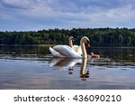 adult with young swans floating ... | Shutterstock . vector #436090210
