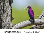Violet Backed Starling In...