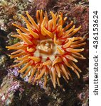 Small photo of Actinia