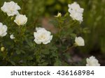Stock photo small white roses flowers 436168984