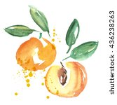 watercolor apricot fruit...   Shutterstock . vector #436238263