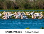 large flock of white pelicans... | Shutterstock . vector #43624363
