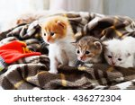 Stock photo kittens and mittens white ginger and grey newborn kittens in a plaid blanket sweet adorable tiny 436272304