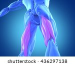 hamstring muscle group  human... | Shutterstock . vector #436297138