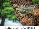 Iguana On A Seminario Park Tre...