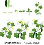 cucumber plant growth cycle | Shutterstock .eps vector #436336066